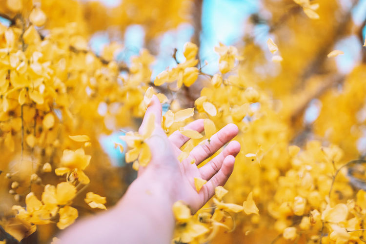 Close-Up Of Hand Holding Falling Yellow Flower Petals From Tree