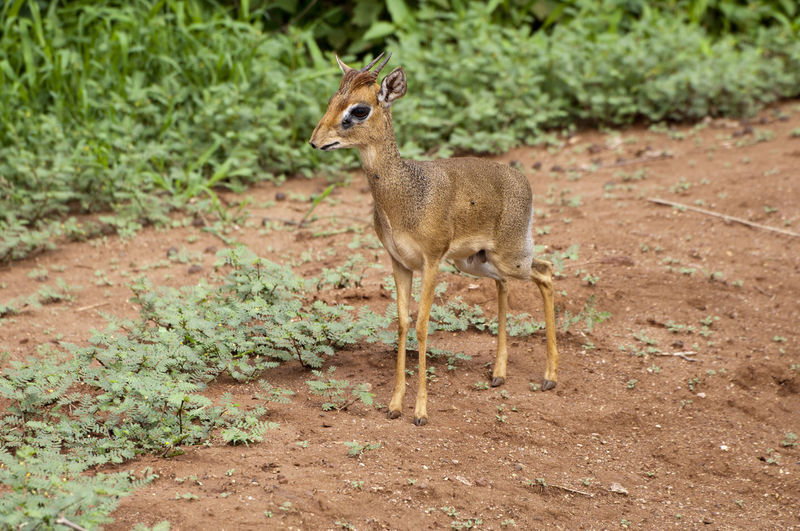 Dik Dik on Safari Animal Themes Animals In The Wild Antelope Brown Day Deer Dik Dik Field Focus On Foreground Forest Full Length Grass Nature No People One Animal Outdoors Plant Safari Side View Standing Tanzania Wildlife Zoology