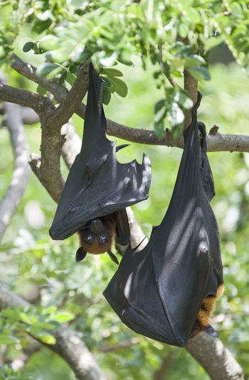 Foxbats in Thailand ASIA Bat Cape Town Giant Hanging Natural Thailand Tree Animal Themes Animal Wildlife Animals In The Wild Bat - Animal Black Color Branch Forest Fox Fox Bat Foxbat Fruit Mammal Nature No People Outdoors Rare Wild