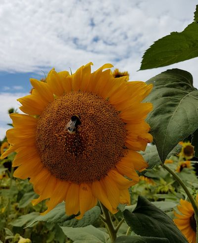 Flower Fragility Flower Head Plant Nature Petal Growth Close-up Sunflower Cloud - Sky Beauty In Nature Freshness Yellow No People Sky Outdoors Day Sunflowers Tranquility