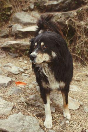 Pet Portraits Mastiff Dog Tibetan Mastiff Pet Photography  Mission Dogs Of EyeEm Indiapictures Hippielife Traveling Travel Destinations First Eyeem Photo Landscape Day India_gram