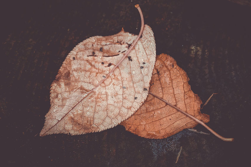 autumn leaves Plant Part Close-up Leaf Dry Autumn No People Change Nature Fragility Leaf Vein Beauty In Nature Vulnerability  Natural Pattern Plant Day Outdoors Brown Focus On Foreground Falling Leaves Natural Condition Maple Leaf