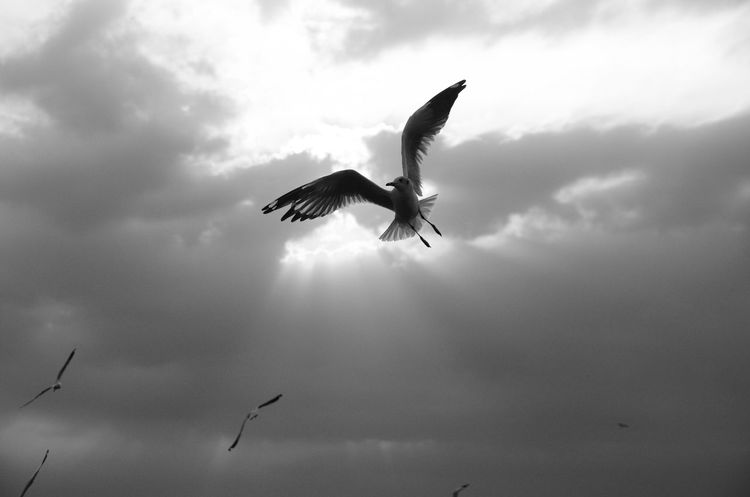Sunlight Freedom Fly High EyeEm Nature Lover Sillouette Sillhouette Blackandwhite Black And White Bird Spread Wings Nature