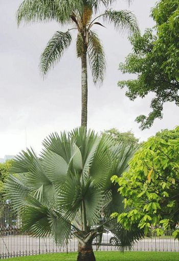 Palm Tree Tree Growth Tree Trunk Coconut Palm Tree Palm Frond Branch Tropical Climate Sky Palm Leaf Green Color Nature Tall - High Tropical Tree Scenics Tranquility Beauty In Nature Tranquil Scene Green Date Palm Tree