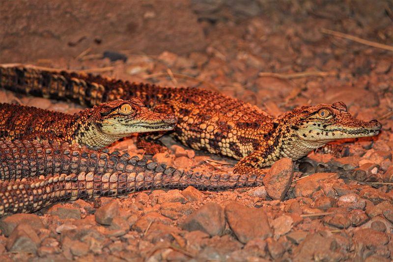Baby Crocodiles Reptile Animal Themes One Animal No People