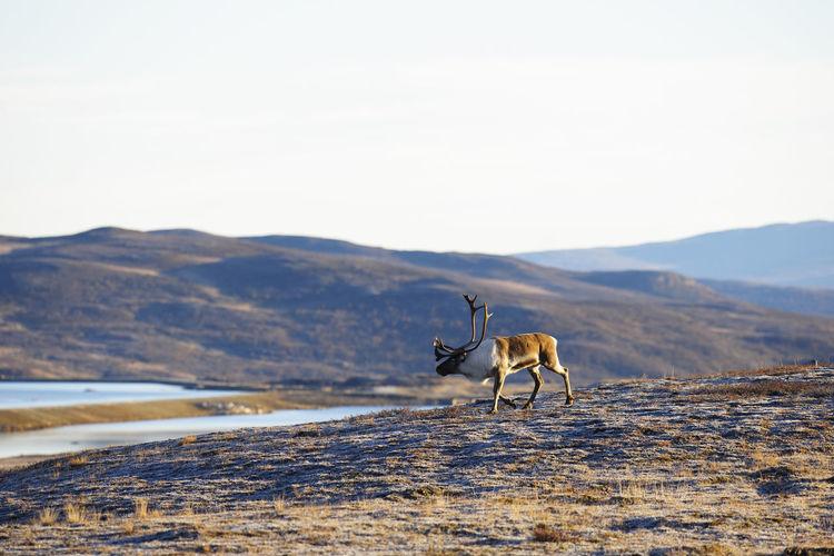 Reindeer walking on field against clear sky