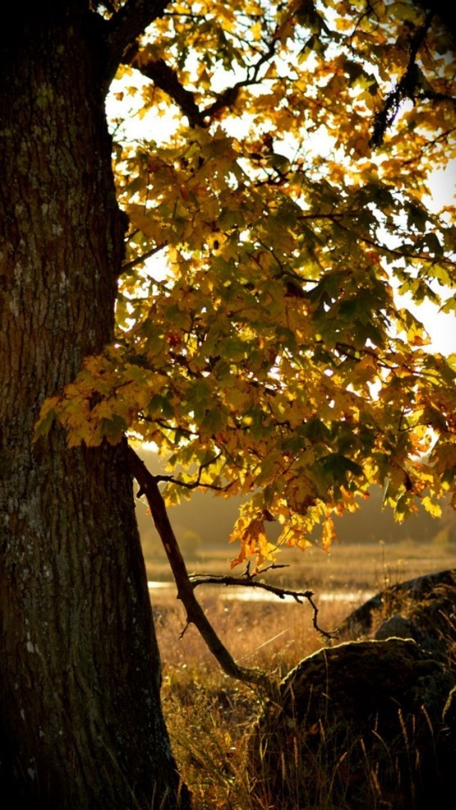 branch, tree, water, nature, tranquility, tree trunk, beauty in nature, growth, scenics, tranquil scene, sunlight, sunset, lake, leaf, outdoors, no people, plant, yellow, day, focus on foreground
