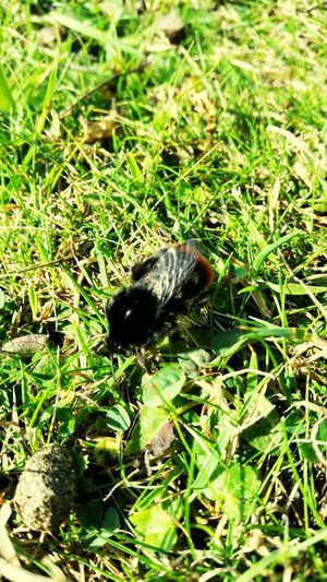 Bumblebee Grass Eye Em Nature Lover Reigate Hill Surrey Walking Beauty In Nature Outdoors No People Uk Nature