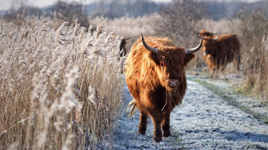 Animal Themes Arid Climate Brown Cattle Cold Cold Temperature Cow Day Domestic Animals Field Grass Highland Cattle Livestock Mammal No People One Animal Outdoors Reed Rural Scene Schotse Hooglanders Sunny Two Animals Winter Zoology