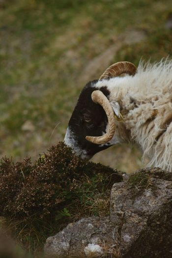 Isle Of Skye Scotland Sheep Animal Animal Themes Animal Wildlife One Animal Animals In The Wild Mammal Vertebrate No People Day Nature Plant Focus On Foreground Animal Body Part Outdoors Side View Close-up Land