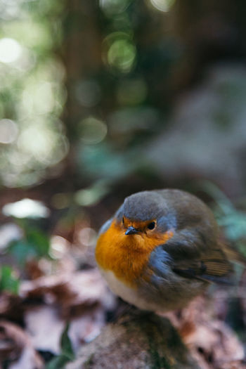 Close-Up Of Robin Perching Outdoors