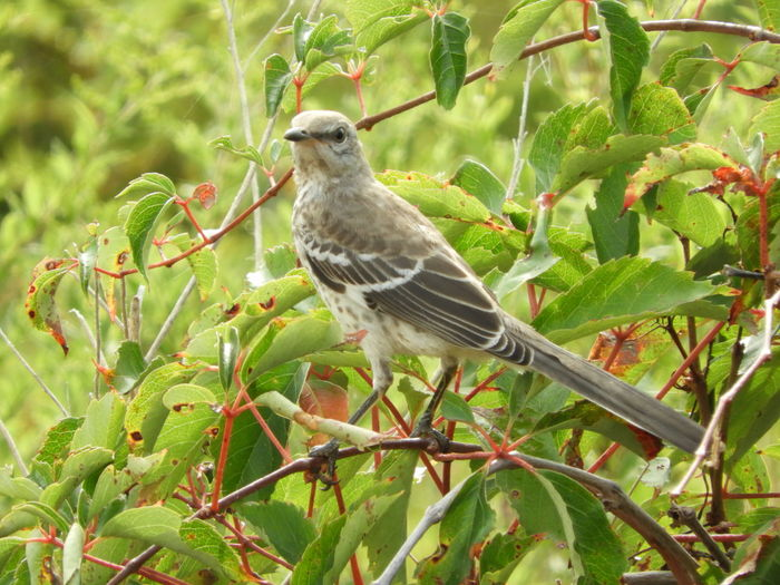Mockingbird Young Mockingbird Bird In The Wild Bird In A Tree Mockingbird In A Tree Mockingbird Perching Beauty In Nature Nature Photography Nature Bird Photography Birds Of EyeEm  Songbird  Bird On A Branch Enjoying Nature Bird Perching Bird In Tree Birds_collection Bird Perching Animal Themes Close-up