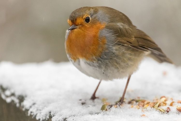 European Robin Animal Themes Animal Wildlife Animals In The Wild Bird Close-up Cold Temperature Outdoors Perching Rouge Gorge Snow Winter