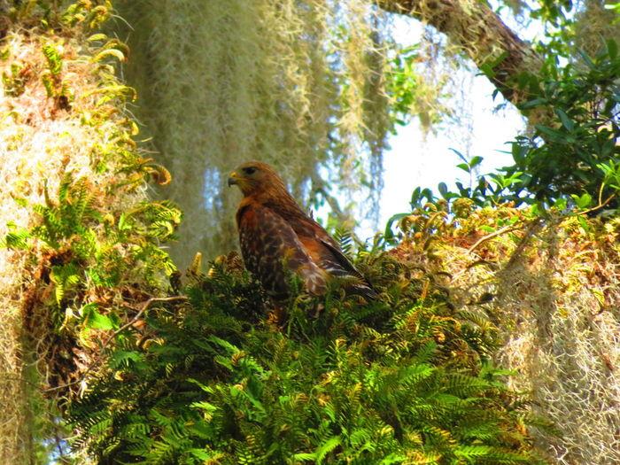 Wild hawk near springs Hawk Hawk - Bird Hawks Bird Tree Bird Of Prey Perching Animal Themes Green Color Wildlife