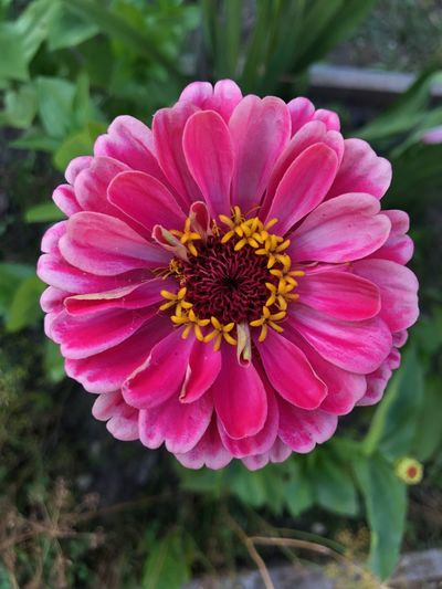 Single Flower Zinnia  Beauty In Nature Close-up Day Field Flower Flower Head Flowering Plant Focus On Foreground Fragility Freshness Growth Inflorescence Nature No People Outdoors Petal Pink Color Pink Flower Pink Zinnia Plant Pollen Vulnerability