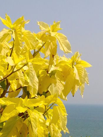 YELLOW LEAVES Yellow Flower Summer Leaf Nature Plant Day Beauty In Nature Freshness Sky Sea