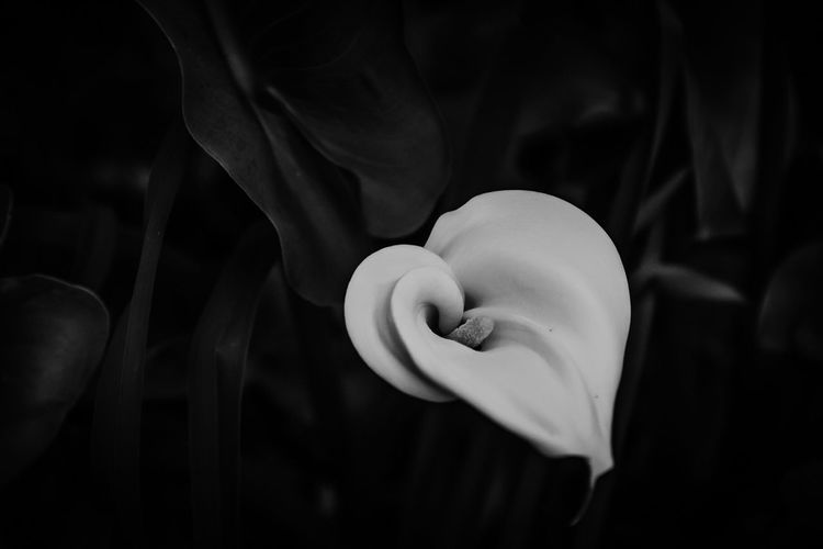 Calla 1 Flower