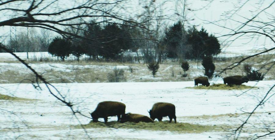 Buffalo in Missouri