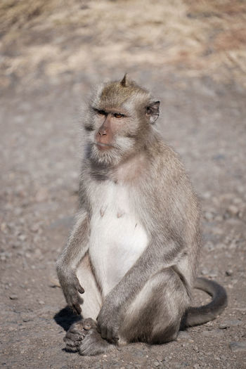 Adult monkey in the baluran national park Animal Family Animal Wildlife Animals In The Wild Baboon Day Focus On Foreground Full Length Looking Looking Away Mammal One Animal Outdoors People Portrait Primate Sitting Vertebrate Young Animal