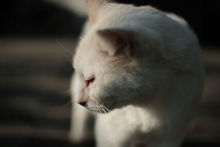 Close-up of white cat looking down