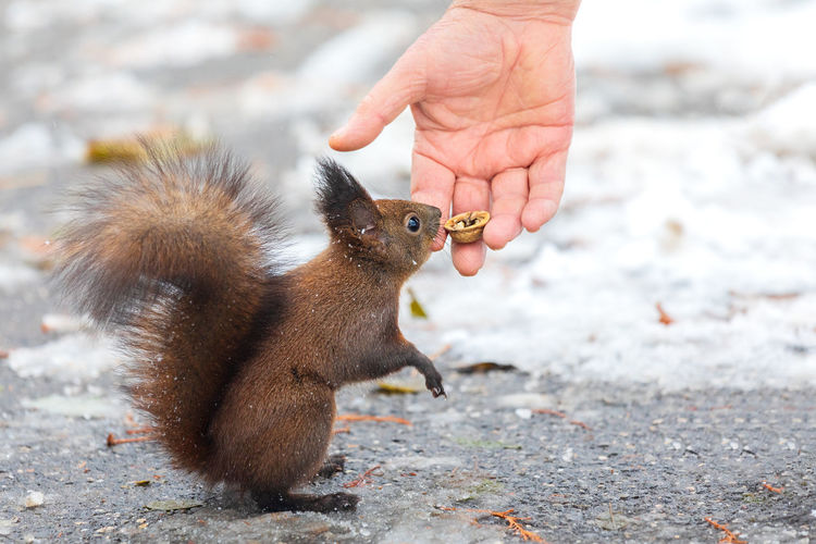 Close-up of hand holding nuts for wild squirrel