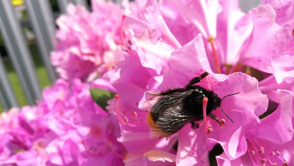 Flower Pink Color Insect One Animal Close-up Beauty In Nature Nature No People Outdoors Animal Themes Flower Head Freshness Day Beauty In Nature Nature Bumblebee Macro Bumblebee