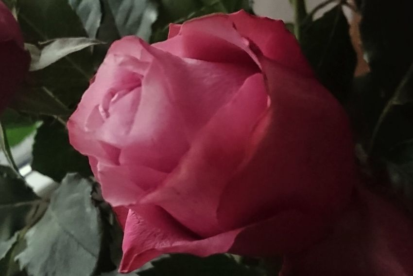Pink Color Rose - Flower Flower Fragility Close-up Nature Petal No People Beauty In Nature Flower Head Outdoors Day