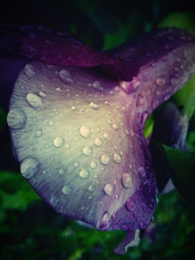 Wet Flower Water Drop Petal Close-up Purity Single Flower Nature Outdoors