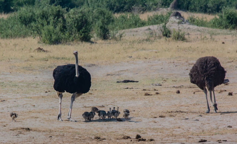 African ostrich in the savanna of in Zimbabwe, South Africa African Ostrich Struthio Camelus Ratite Feathers Palaeognathae Species Of Bird Ostrich Head South African Ostrich Ostrich Chick Charara Safari Area Landscape Safari Savannah South Africa National Park Reserved Area Nature Wildlife Animal Themes Animal Animals In The Wild Mammal
