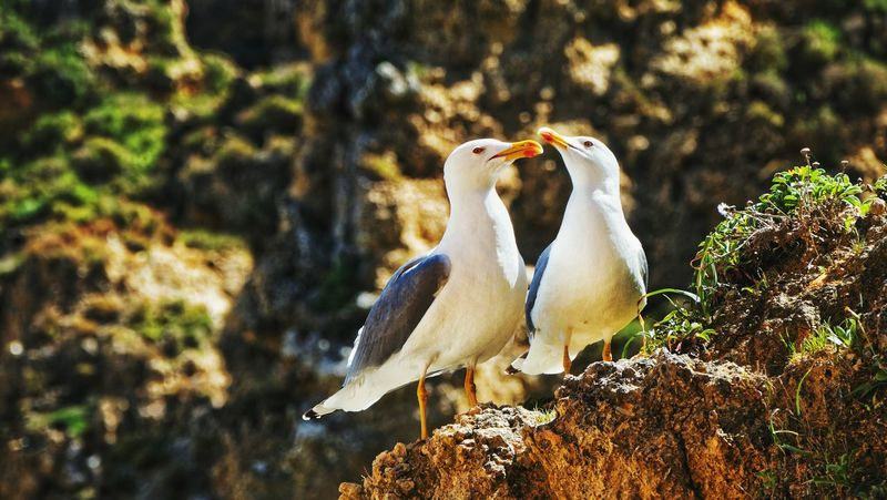 Lovers (I) Bird No People Animal Themes Seagull Serenity Seagulls On The Rocks Portugal Algarve