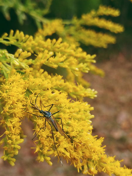 Animal Themes Animals In The Wild Beauty In Nature Bug Close-up Flower Fly Focus On Foreground Goldenrod Insect Nature No People One Animal Selective Focus Wildlife Yellow Zoology