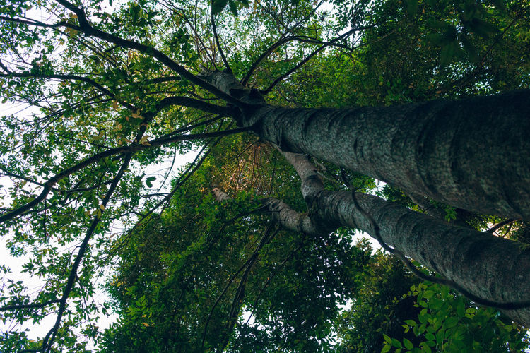 Bark Beauty In Nature Branch Day Directly Below Foliage Forest Green Color Growth Land Low Angle View Moss Nature No People Outdoors Plant Sky Tranquil Scene Tranquility Tree Tree Canopy  Tree Trunk Trunk