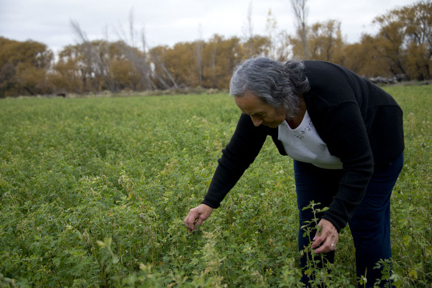 Alfalfa producer Agriculture Lucerne Agricultural Land Alfalfa Argentina Argentina Photography Famulari Field Grandma Gray Hair Growth Leisure Activity Mature Adult One Person Real People Senior Adult Standing