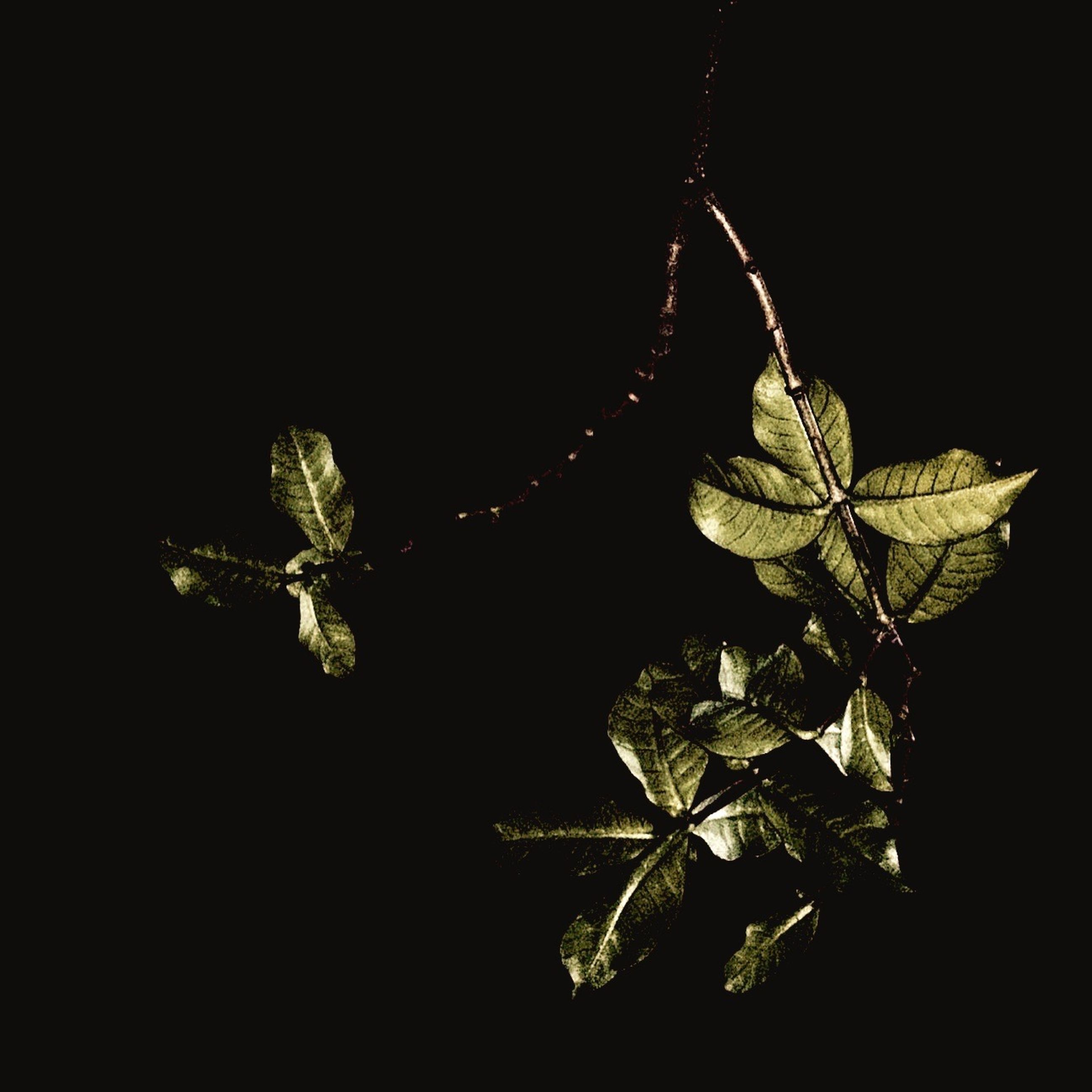 night, growth, leaf, plant, branch, nature, low angle view, copy space, clear sky, tree, close-up, black background, beauty in nature, dark, outdoors, no people, stem, studio shot, twig, tranquility