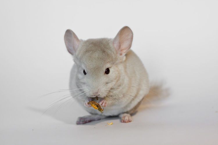 Animal Themes Chinchilla Domestic Animals One Animal Young Animal