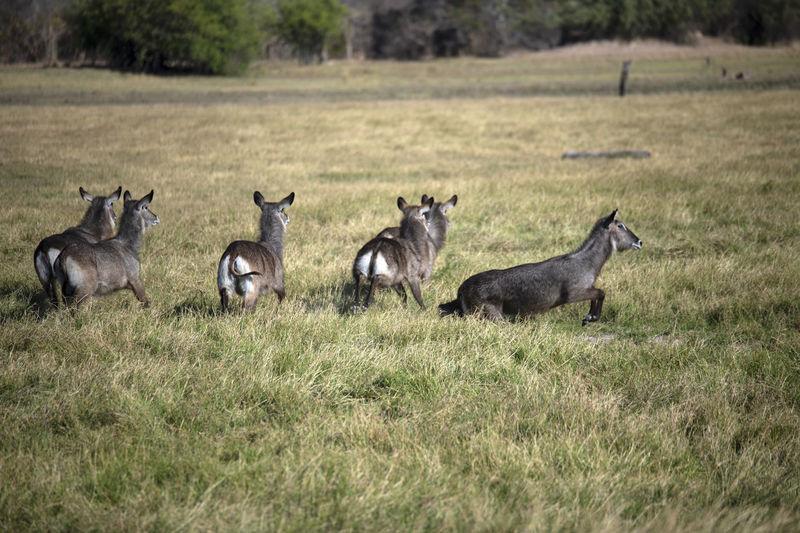 Flock of waterbucks in a field