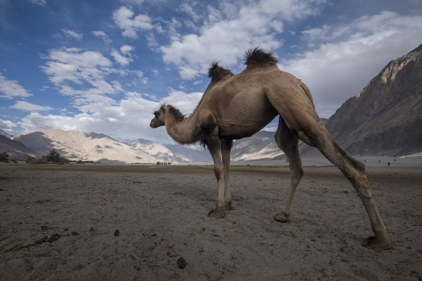 Animal Themes Arid Climate Beauty In Nature Cloud - Sky Day Desert Domestic Animals Double Hump Camels Full Length Hunder Ladakh Landscape Mammal Mountain Nature No People NubraValley One Animal Outdoors Sand Scenics Sky Travel