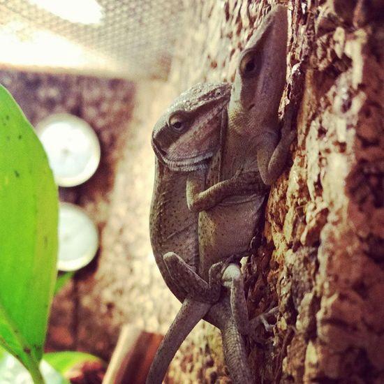 Die Rotkehlanolis sind aus der Winterruhe raus und in den Frühling rein und haben schon wieder richtig Spaß ? Rotkehlanolis Anolis Paarung Spaß fun reptile Reptilien anole Terrarium