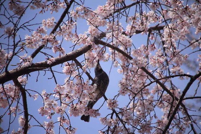 Cherry blossoms and birds 🌸🐦😄 Hello World Eyeem Nature Hi! EyeEm Portrait Photography The Cherry Blossom Season 🌷 Flowers 🌹 Photographer Taking Photos Spring Flowers