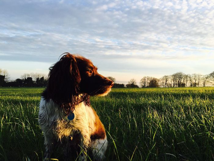 English cocker spaniel sitting on grassy field against sky during sunset