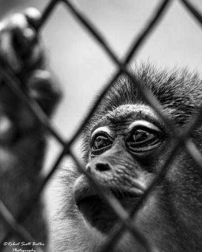 Sadeyes Sad Face Monkey Zoo Zoo Animals  Zoophotography Blackandwhite Blackandwhite Photography Animals Fine Art Photography