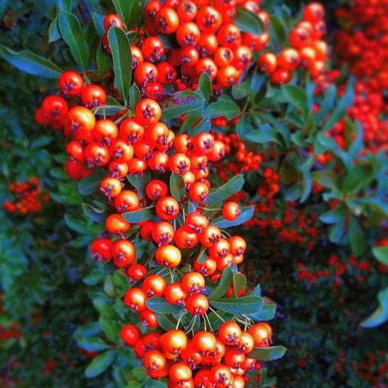 Cotoneaster Madarbirs Berry Nature LoveNature Autumn Forest
