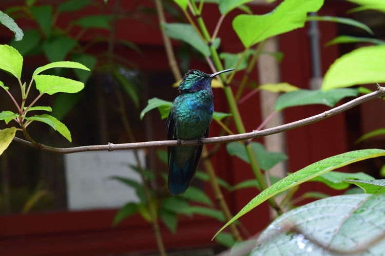 Hummingbird Nature Leaf Animal Bird Outdoors Forest Beak Jungle Plant Rainforest Costa Rica Hummingbird Beauty In Nature No People EyeEm Nature Lover Perching Animals In The Wild Monteverde Green Color Tropical Rainforest Animal Themes One Animal Focus On Foreground Animal Wildlife EyeEm New Here Monte Verde