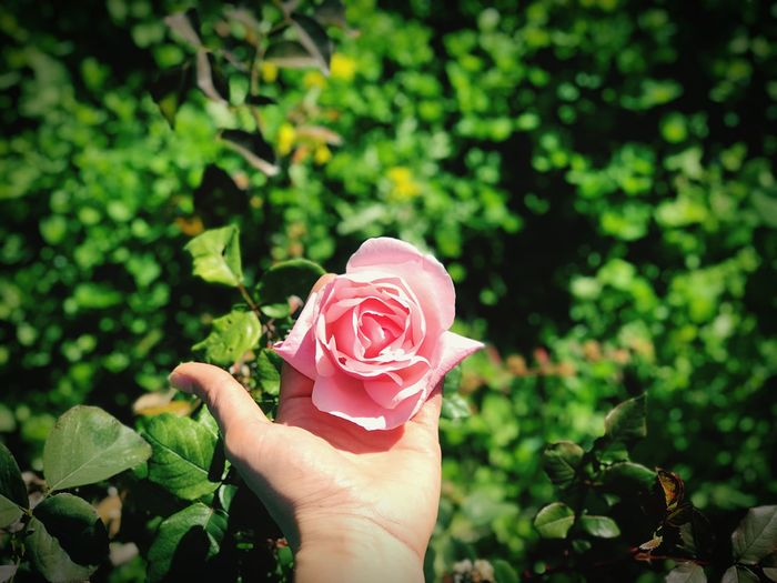 Cropped hand holding rose blooming in garden