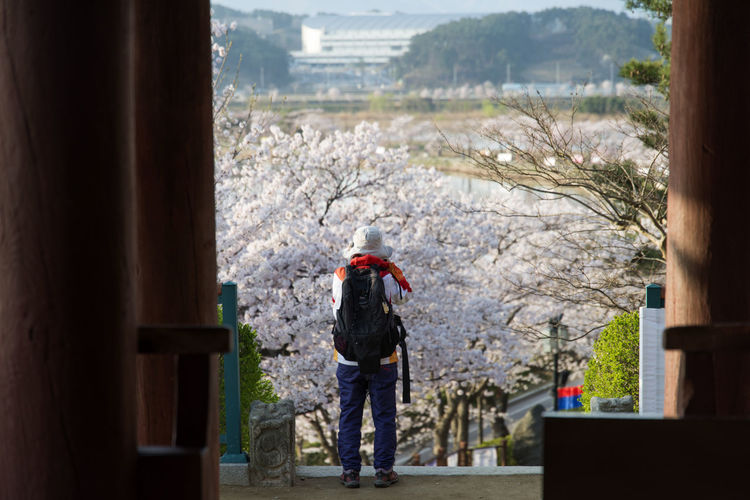 Rear View Of Tourist Looking At Cherry Trees