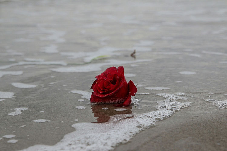 Close-up of red rose in puddle