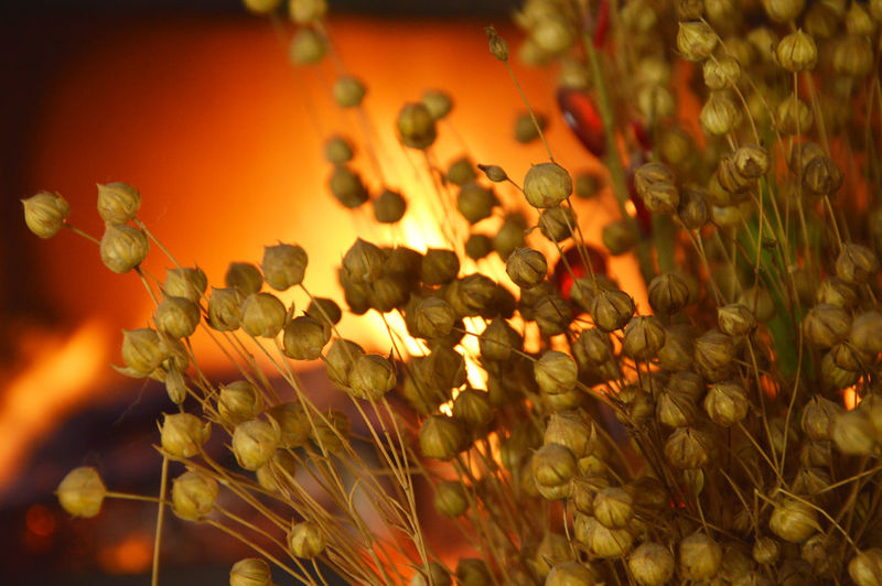 Dried Bouquet Dried Flax Fire Fire Background Flax Flax Fire Background Flax Plant Red Flachs Bouquet Heat Nature And Fire Redlight Pflanzen Feuer Natur Dried Flax Bunch Glow Flame Glow Background Burning Dri Bonfire Flames & Fire Dried Plant The End Flax