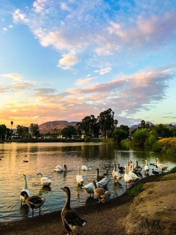 Bird Cloud - Sky Animals In The Wild Water Lake Animal Themes Sky Nature Swimming Animal Wildlife Large Group Of Animals Water Bird No People Beauty In Nature Reflection Outdoors Sunset Day Tree