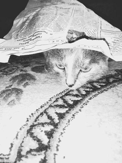 News Papercat