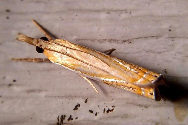 Lepidopterology